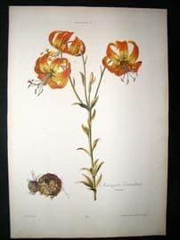 Trew & Ehret C1765 LG Folio Hand Col Botanical Print. Canada Tiger Lily 26