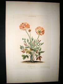 Trew & Ehret C1770 Folio Hand Col Botanical Print. Couleur d'or Ranunculus 78