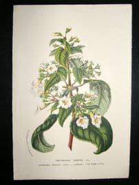 Van Houtte C1870 Botanical Print. Trevirania Candida