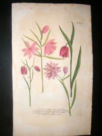 Weinmann C1740 Folio Hand Col Botanical Print. Fritillaria 517
