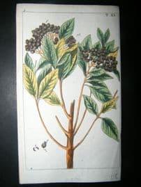 Wilhelm C1790's H/Col Botanical Print. Allspice, pimento or Jamaica pepper 5-40