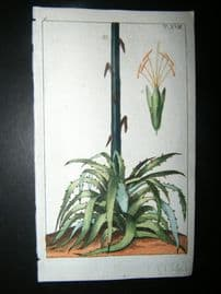 Wilhelm C1790's H/Col Botanical Print. Century Plant. Agave Americana 6-18