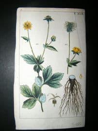Wilhelm C1790's H/Col Botanical Print. Common Tormentil 8-42
