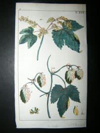 Wilhelm C1790's H/Col Botanical Print. Hops, Humulus lupulus 6-22