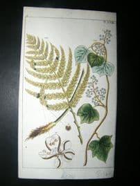 Wilhelm C1790's H/Col Botanical Print. Male Polypody Fern, Polypodium Filix 6-58