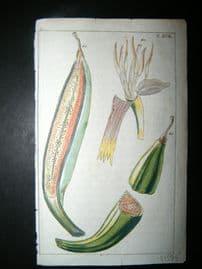 Wilhelm C1790's H/Col Botanical Print. Plantain bananas, Musa paradisiaca 5-18