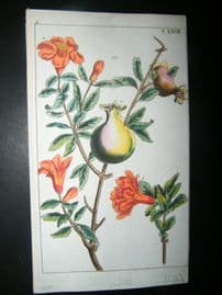 Wilhelm C1790's H/Col Botanical Print. Pomegranate plant, Punica granatum 5-27