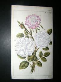 Wilhelm C1790's H/Col Botanical Print. Rose 10-31