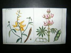 Wilhelm C1790's H/Col Botanical Print. Spartium Scoparium, Common Broom 6-34