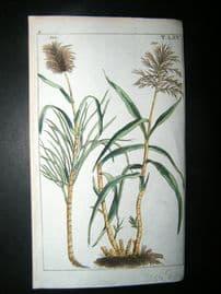 Wilhelm C1790's H/Col Botanical Print. Sugar cane, Saccharum officinarum 5-65
