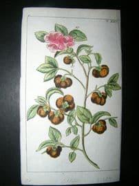 Wilhelm C1790's H/Col Botanical Print. Tea Tree, Camellia sinensis 6-25