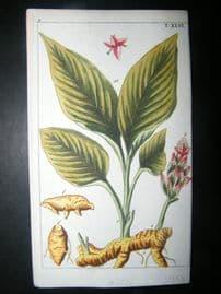 Wilhelm C1790's H/Col Botanical Print. Turmeric flower, Curcuma Longa 5-46