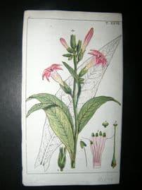 Wilhelm C1790's H/Col Botanical Print. Virginian Tobacco, Nicotiana tabacum 6-27
