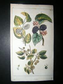 Wilhelm C1790's H/Col Botanical Print. White and black mulberry, Morus alba 5-1