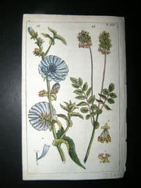 Wilhelm C1790's H/Col Botanical. Endive, Cichorium Endivea & Salad Burne 4-14