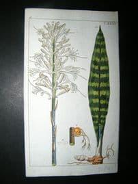 Wilhelm C1790's H/Col Print. White flowered Sansevieria, Aletris guineensis 6-35