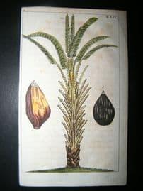 Wilhelm C1790's Hand Col Botanical Print. African Oil Palm Tree 5-59