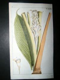 Wilhelm C1790's Hand Col Botanical Print. Round turmeric, Curcuma rotunda 5-47