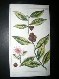 Wilhelm C1790's Hand Col Botanical Print. Tea Plant. Camellia sinensis 6-24