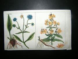 Wilhelm C1790's HC Botanical Print. Garden loosestrife, Lysimachia vulgaris 6-42