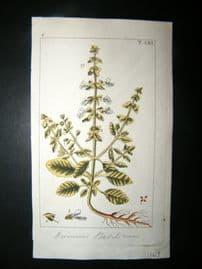 Wilhelm C1810 H/Col Botanical Print. Basil, Ocimum Basilicum 8-56