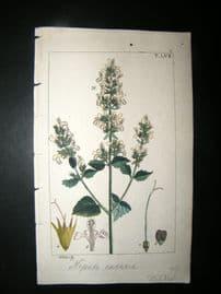 Wilhelm C1810 H/Col Botanical Print. Catnip, Nepeta cataria 8-57