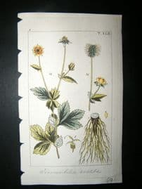 Wilhelm C1810 H/Col Botanical Print. Common Tormentil 8-41