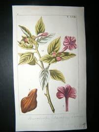 Wilhelm C1810 H/Col Botanical Print. Convolvulus Jalapa 8-22