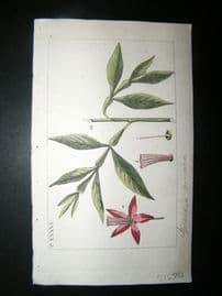 Wilhelm C1810 H/Col Botanical Print. Quassia Amara 8-36