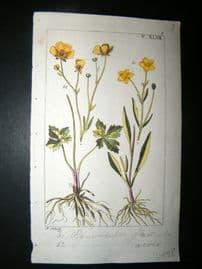Wilhelm C1810 H/Col Botanical Print. Ranunculus 8-47