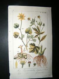 Wilhelm C1810 H/Col Botanical Print. Ranunculus 8-48