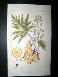 Wilhelm C1810 H/Col Botanical Print. Rhubarb, Rheum rhabarbarum 8-35