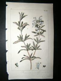 Wilhelm C1810 H/Col Botanical Print. Rosemary, Rosmarinus Officinalis 8-4