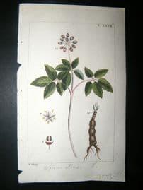 Wilhelm C1810 H/Col Botanical Print. Soium Ninsi 8-27