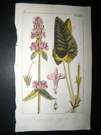 Wilhelm C1810 H/Col Botanical Print. Stachys Betonica officinalis 8-54