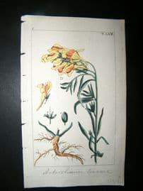 Wilhelm C1810 H/Col Botanical Print. Toadflax, Antirrhinum Linaria 8-58