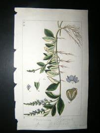 Wilhelm C1810 H/Col Botanical Print. Veronica Officinalis 8-5