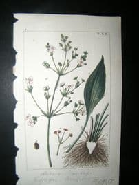 Wilhelm C1810 H/Col Botanical Print. Water-plantain, Alisma plantago 8-20