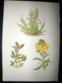 Wooster 1874 Antique Botanical Print. Andromeda Hypnoides