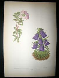 Wooster 1874 Antique Botanical Print. Androsace Lanuginosa