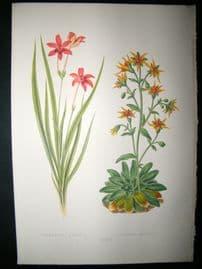 Wooster 1874 Antique Botanical Print. Anomatheca Cruenta