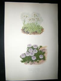 Wooster 1874 Antique Botanical Print. Arabis Androsace