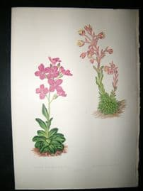 Wooster 1874 Antique Botanical Print. Arabis Blepharophylla