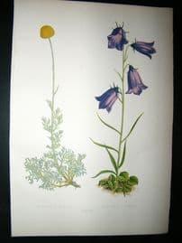 Wooster 1874 Antique Botanical Print. Artemisia Alpina