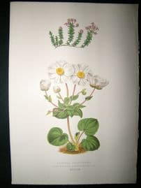 Wooster 1874 Antique Botanical Print. Asperula Arcadiensis