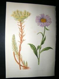 Wooster 1874 Antique Botanical Print. Aster Alpinus