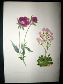 Wooster 1874 Antique Botanical Print. Callirhoe Involucrata