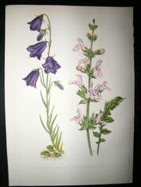 Wooster 1874 Antique Botanical Print. Campanula Linifolia