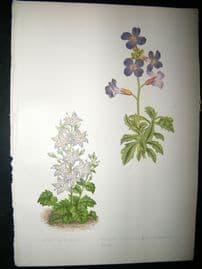 Wooster 1874 Antique Botanical Print. Campanula Muralis