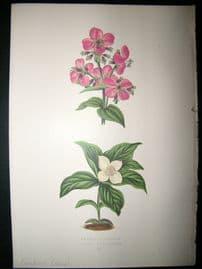 Wooster 1874 Antique Botanical Print. Canadian Cornel